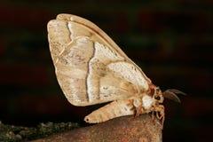 Furry moth Royalty Free Stock Photo