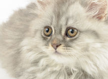 Furry muzzle of fluffy cat Stock Photo