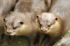 Furry Otters Royalty Free Stock Images