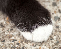 Furry Paw of Black Brown Cat with White Sock. Close up of a the furry paw of a black brown cat with a white sock and white hairs resting on concrete Stock Photos