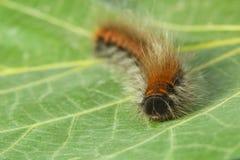 Furry pest caterpillar Stock Images