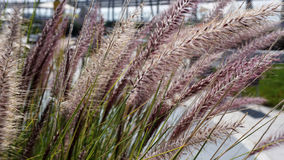 Furry plant. Some plant looking like wheat, plant growing as a big grass with some smooth and furry points Stock Image