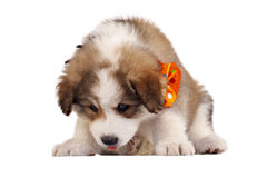 Furry puppy Stock Images