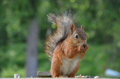 Furry red squirrel eating nuts Stock Image
