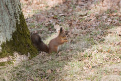 Furry red squirrel gnaws and eats an acorn on back spaws. Royalty Free Stock Image