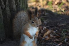Red-haired furry squirrel in the park Royalty Free Stock Image