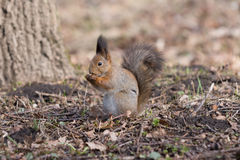 Furry red squirrel stands on paws and eats an acorn. Stock Image