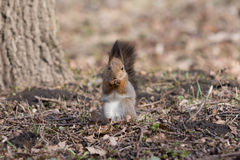 Furry red squirrel stands on paws and eats an acorn. Royalty Free Stock Image