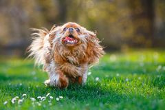 furry ruby cavalier king charles spaniel running outside stock photos