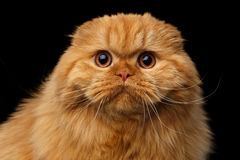 Furry scottish fold breed Cat on isolated black background. Close-up portrait of Furry red scottish fold highland breed Cat surprise stare in camera on isolated Royalty Free Stock Photo