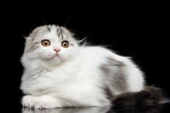 Furry scottish fold breed kitty on isolated black background Stock Image