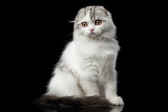 Furry scottish fold breed kitty on isolated black background Royalty Free Stock Photography