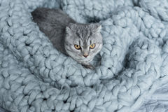Furry scottish fold cat lying on wool blanket in bedroom Stock Photos