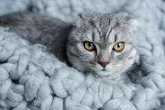 Furry scottish fold cat lying on wool blanket in bedroom Royalty Free Stock Photo