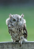 Furry screech owl Stock Photography