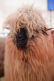 Furry sheep Royalty Free Stock Photography