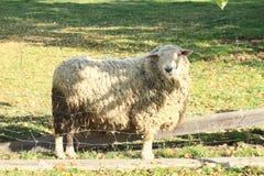 Furry sheep - rammer Stock Image