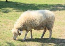 Furry sheep Stock Photos