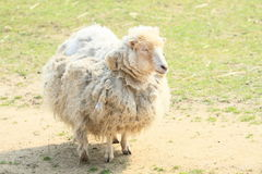 Furry sheep Stock Image