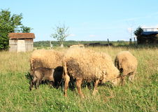 Furry sheeps. And young lambs on pastureland Stock Photography