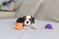 Furry Shih-Tzu pup with two toys royalty free stock images