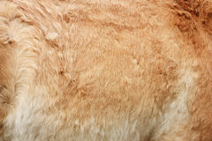 Furry skin of brown horse. Abstract background royalty free stock photo