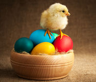 Furry small chick with easter eggs. isolated Royalty Free Stock Image