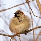 Furry sparrow Royalty Free Stock Image