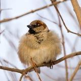 furry sparrow royaltyfri bild