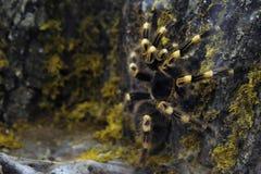 Furry spider. Close up of a large tarantula spider Stock Photos