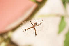 Furry Spider Stock Image