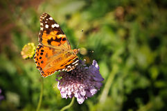 Furry Spotted Orange Spring Butterfly on Flowers. Furry Spotted Orange Spring Butterfly sitting on Green Vegetation with wings spread open and aperture blurred Stock Image
