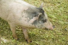 Furry spotted pig. Furry spotted pink pig on grass Stock Image