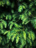 Furry spruce branches stock images