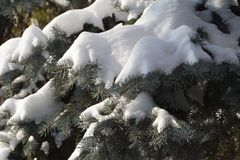 Furry spruce in the snow close-up Stock Image
