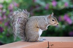 Furry squirrel on the bench stock image