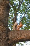 Furry squirrel sitting on a branch and eating nuts. Squirrel gnaws nuts, Forest dwellers, Small rodents in the Park, Beautiful red coat Royalty Free Stock Photo