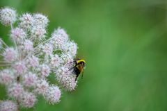 A furry striped bumblebee sits on a poisonous white flower of a water Hemlock on a green background. Close up, side view. A furry striped bumblebee sits on a royalty free stock photo