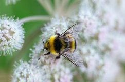 A furry striped bumblebee sits on a poisonous white flower of a water Hemlock on a green background. Textured wings. Close-up, top view, macro. Poisonous plant stock photos