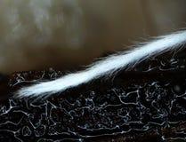 A furry tail of a microscopic mold. Stock Photos