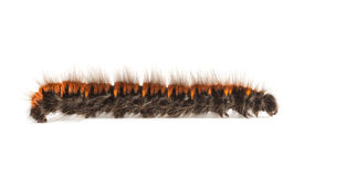 Furry vermin caterpillar Royalty Free Stock Image