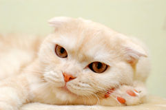 Furry white cat. A closeup of the face of an adorable furry white cat Stock Photography