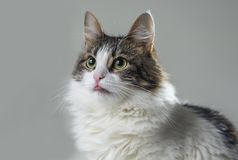 A furry white cat eats tongue close-ups. Fluffy white with dark spots cat eats with appetite pet food with tongue close-up Royalty Free Stock Photo