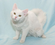 Furry white cat with yellow eyes sitting Royalty Free Stock Photos