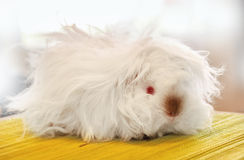Furry white guinea pig Royalty Free Stock Image