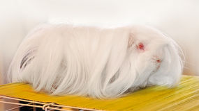Furry white guinea pig Royalty Free Stock Images