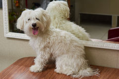 Furry white maltese. Funny dog on the table Royalty Free Stock Images