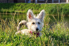Furry white puppy is lying on a grass in a park near to the lake. Stock Photo