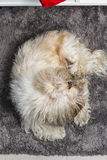 Furry white puppy shi tzu lying on a carpet Royalty Free Stock Photography