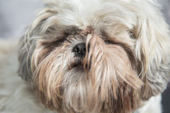 Furry white shi tzu dog head portrait Royalty Free Stock Photos